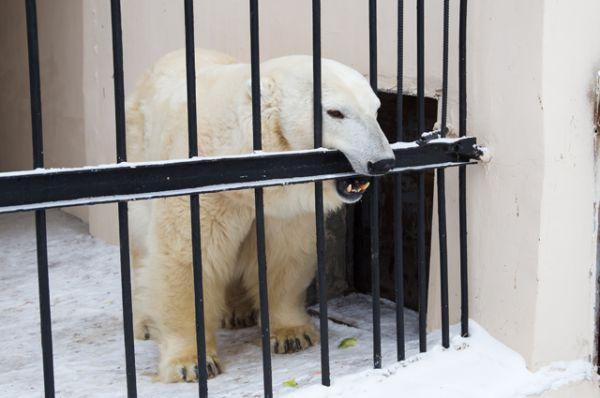 В Казани пока осталась белая медведица Малышка.