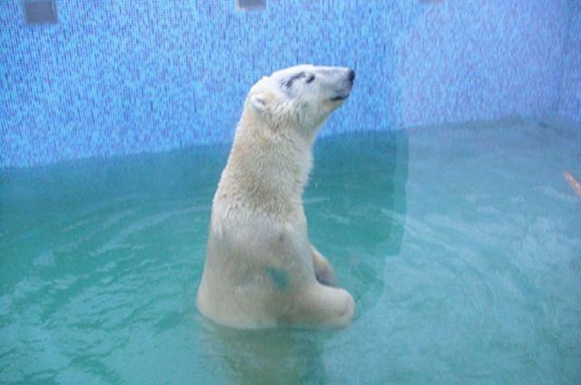 В бассейне северный хищник чувствует себя вполне комфортно.