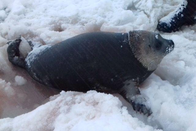 НаКамчатке детеныша нерпы спасли отстаи бродячих собак