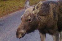 Автомобилист из Калининграда сбил лося на приграничной трассе в Польше.