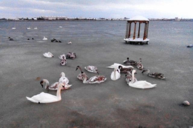 ВЕвпатории бойцы МЧС спасли вмёрзших возеро лебедей