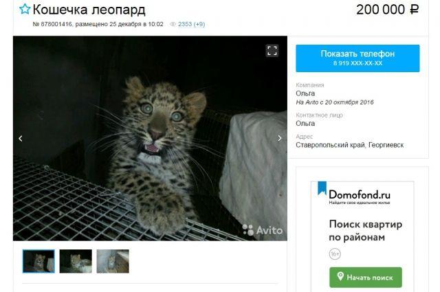 Продавцы леопардов появились наСтаврополье