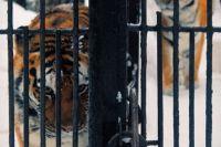 Тигры привыкли к сибирским морозам.