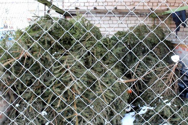 Жителю Нестерова грозит тюрьма за попытку торговли елями перед Новым годом.