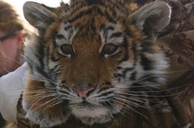 В Приморье тигренок серьезно пострадал от рук браконьеров