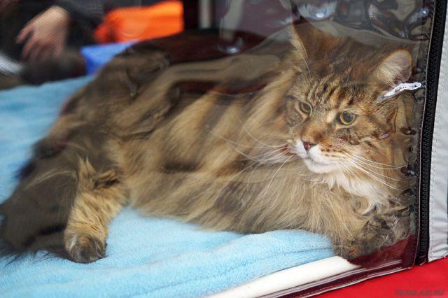 Новосибирский суд нестал делить 2-х котов разводящейся пары