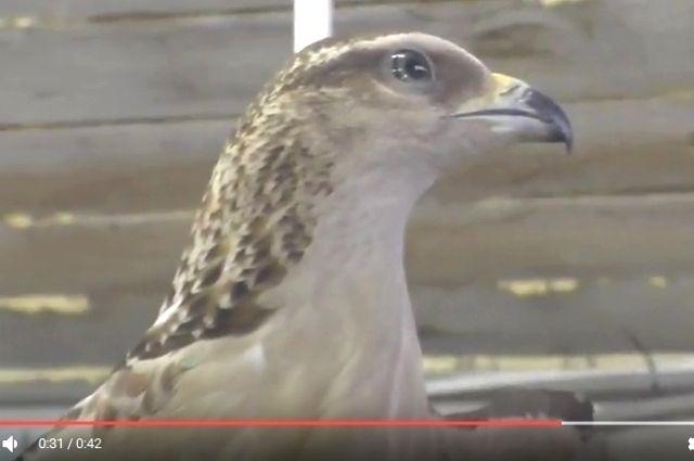 Редкостный ястреб появился вконтактном зоопарке Иркутска