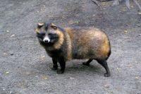 Енотовидные собаки иногда забегают в город из леса.