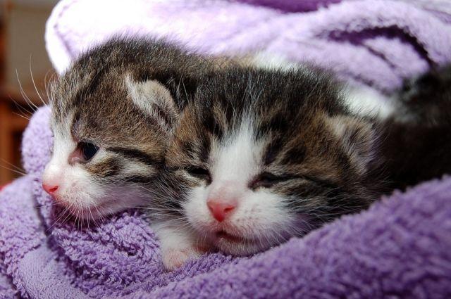 Заражение может произойти от кошки к котятам.