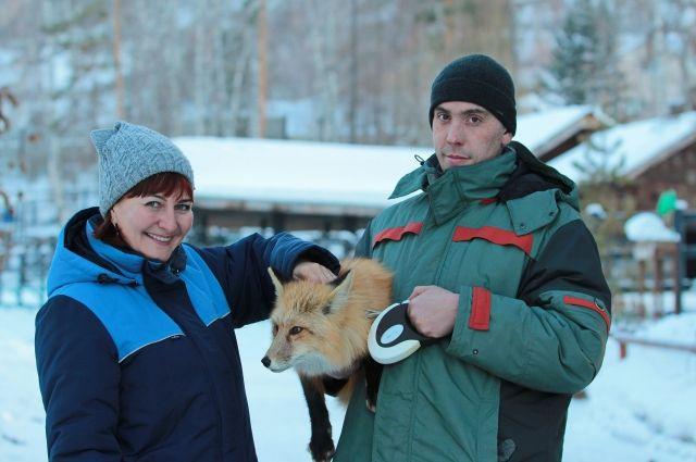 Новосибирские ученые почти пятьдесят лет отбирали и сводили самых дружелюбных и спокойных лис и в результате получили линейку ручных от рождения животных.