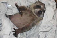 Пока экзотические животные маленькие, они приносят много радости. Вырастая же, становятся большой проблемой.