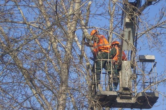 На санитарную обрезку деревьев власти Калининграда потратят 7,8 млн рублей.