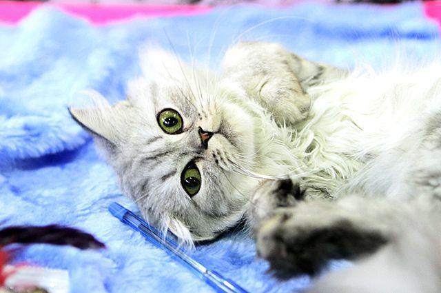 Главная кошка Новосибирска 2017 будет выбрана в эфире Радио Дача 106,7 FM 24 февраля 2017 года.