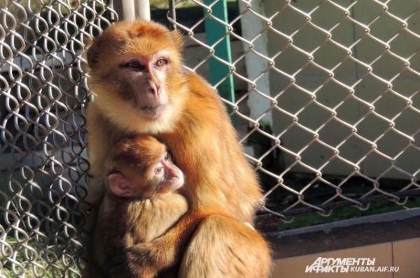 Каждый год в питомнике появляются на свет сотни маленьких обезьянок.