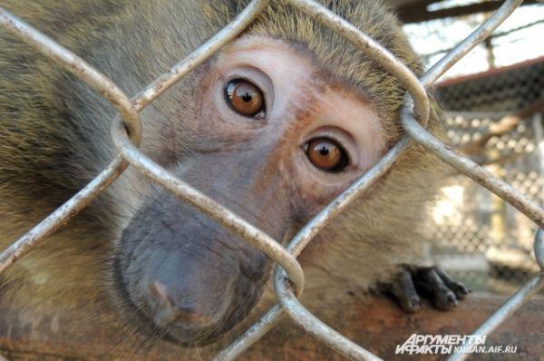 В сочинском питомнике обитают многочисленные виды обезьян со всего мира, в том числе самые редкие и экзотические.
