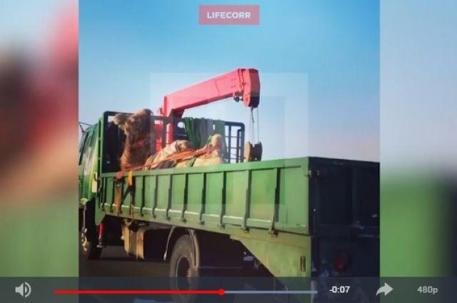 Кадр из видеозаписи Life.ru, на видео – верблюда везут в открытом грузовике.