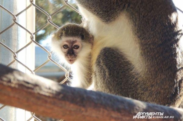 По словам специалистов, обезьяна может выкармливать только одного детеныша, поэтому в природе при появлении двойни кто-то из новорожденных погибает.