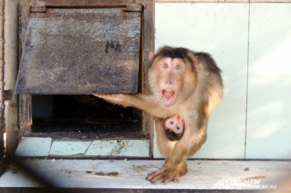 До определенного возраста детеныши обезьян проводят большую часть времени, вцепившись в маму.