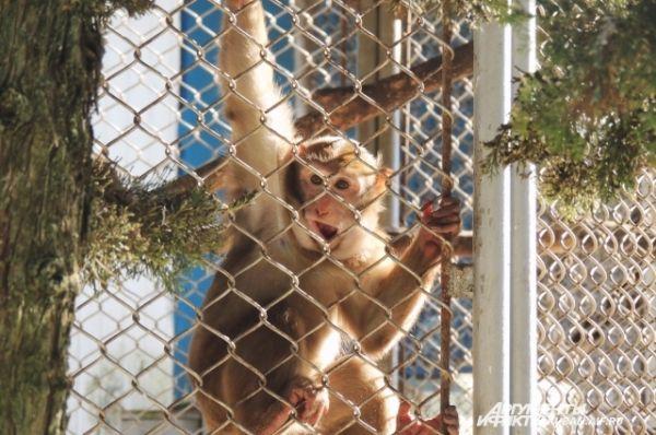 Многие обезьяны предпочитают вести висячий образ жизни.