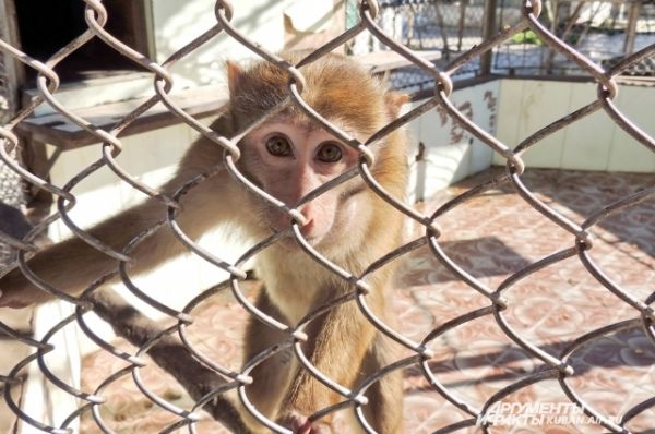 Некоторые обезьяны питомника нервно реагируют на незваных гостей, другие, напротив, проявляют любопытство.
