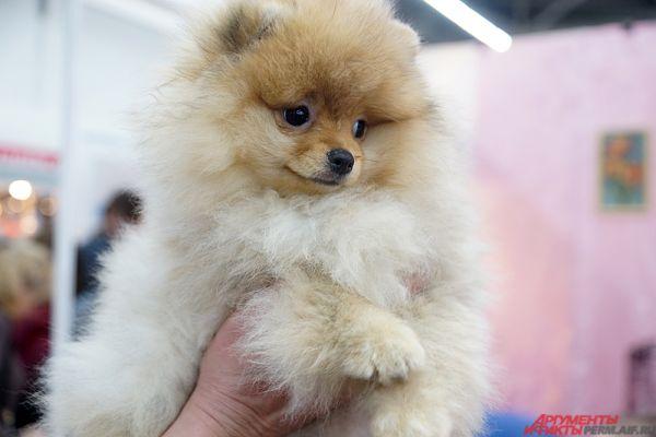 Собака породы померанский шпиц.