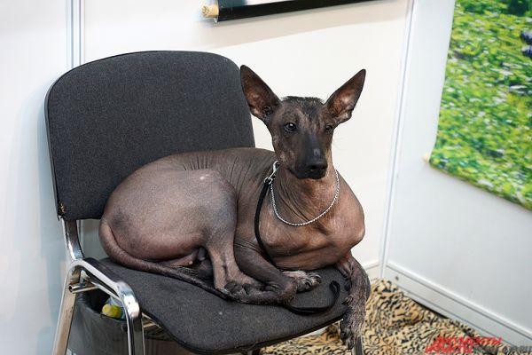 Собака породы мексиканская голая.