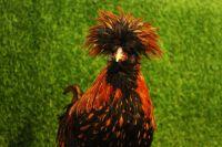 Домашний петух - птица гордая