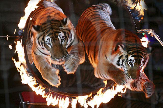 На рабочего цирка вВолгограде напали белые тигры