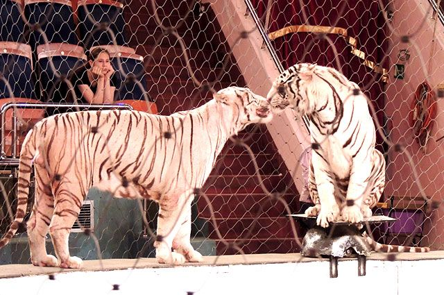 ЧПвВолгограде: разьяренные тигры напали насотрудника цирка