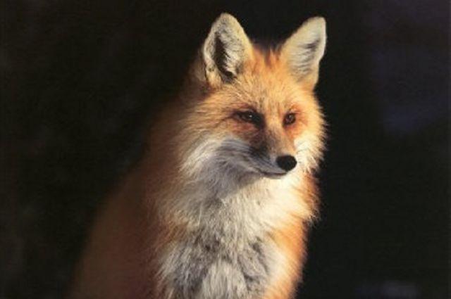 Бешеная лиса создала угрозу для целого села.