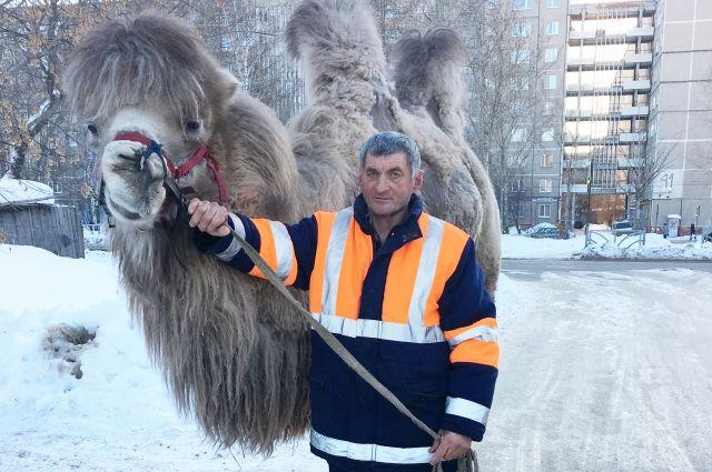 По словам хозяина Владимира Полозова, гоша - верблюд спокойный, но фамильярности не терпит.