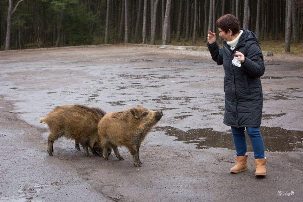 Однако не все животные так дружелюбны: некоторые туристы получали синяки от кабаньих пятаков.