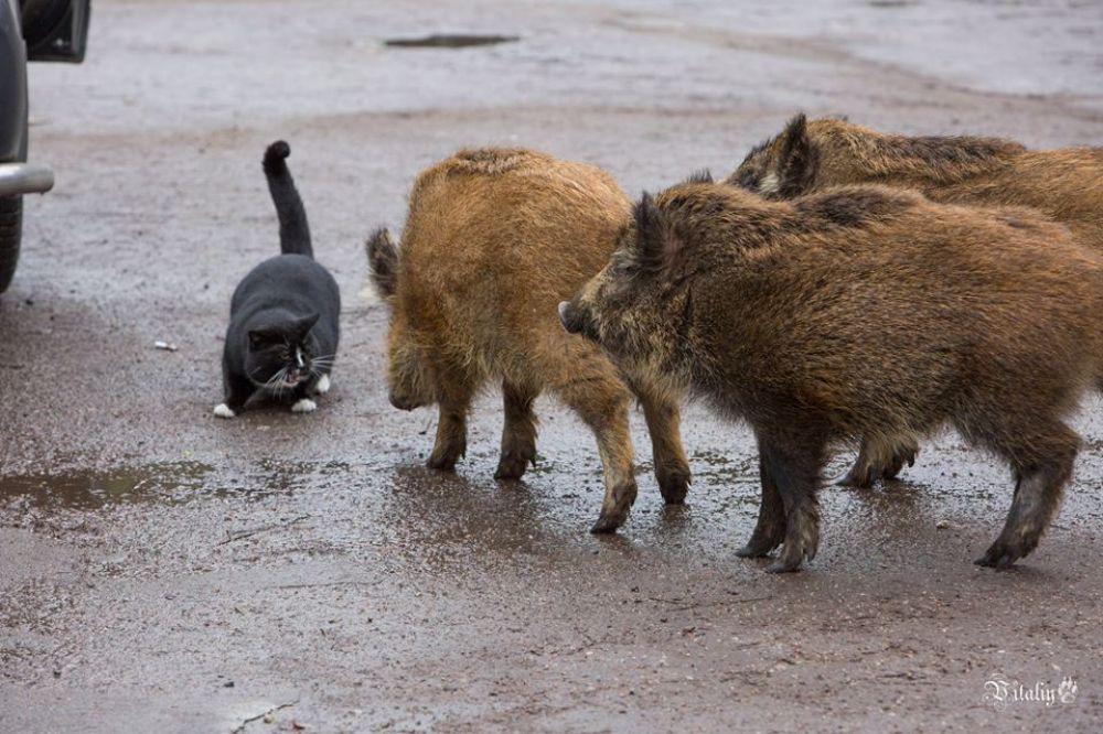 Иногда конкуренцию дикому «патрулю» составляет местный кот.