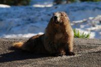 Сурок в Новосибирском зоопарке не спит всю зиму