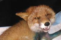 Спасенный лис.