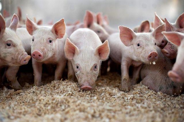 Заболевание и гибель 2 голов свиней зарегистрировано в личном подсобном хозяйстве