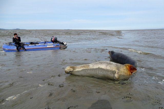 Учёных поразила доверчивость местной фауны. Эти морские зайцы (лахтаки) даже позволяли себя гладить.