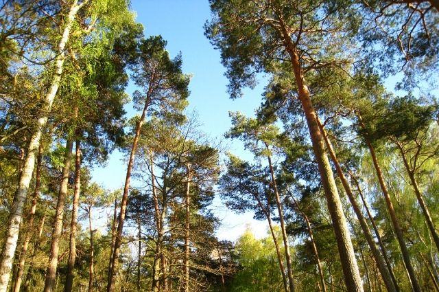 1,5 года условно получил гражданин Лукояновского района за нелегальную вырубку сосен