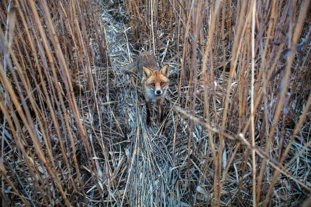 Всамом начале года вИвановской области обнаруживают уже пятую бешеную лису