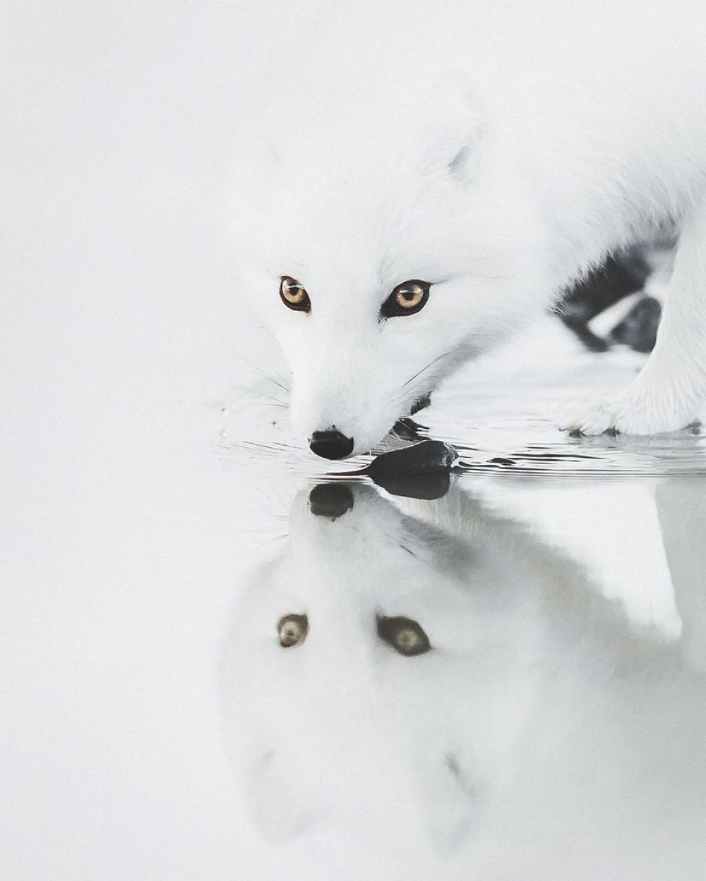 Это же как нужно было выждать момент, чтобы это сфотографировать? Посмотрите только на эту арктическую лису!