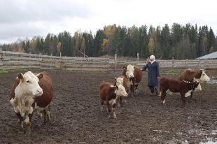 «Яблоком раздора» стали коровы дорогой герефордской породы.