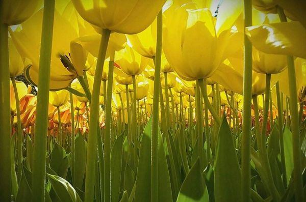 Автору этого снимка всего 11 лет, но у него уже, как минимум есть свое видение точки съемки, с которой нужно снять эти тюльпаны