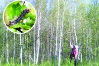 Шелкопряд поражает хвойные и лиственные породы деревьев
