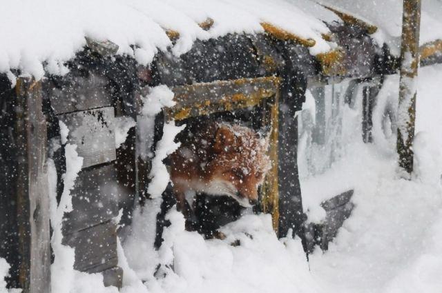 Браконьера субитой лисой задержали вНижегородской области