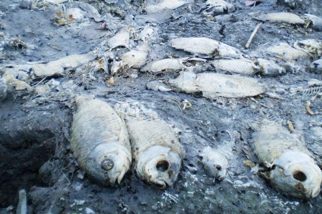 Специалистами выявлена причина погибели рыбы нареке Кузьминка