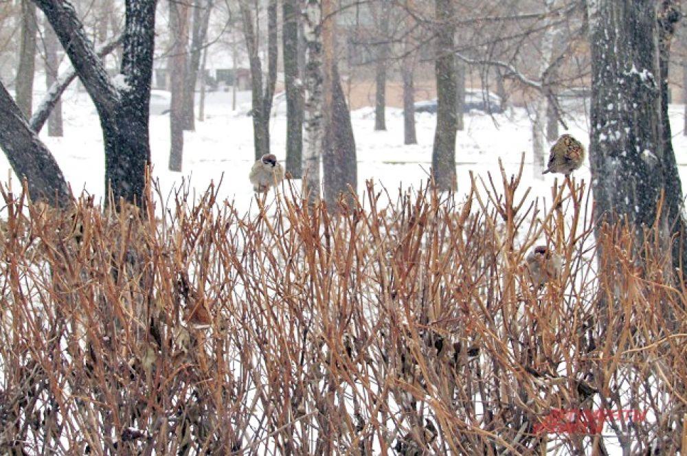 Внезапное потепление воробьи отметили хоровым пением