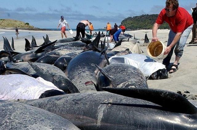 Ученые точно не уверены, что заставляет китов совершать массовое самоубийство
