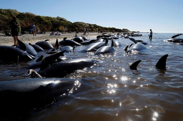В новейшей Зеландии дельфины массово выбрасываются насушу
