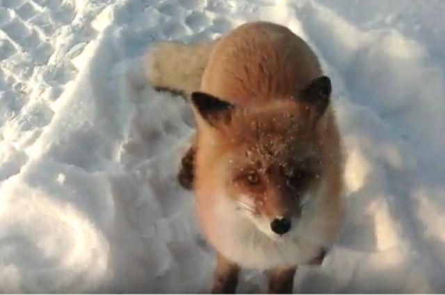 Гражданин Погарского района снял шкуру сбешеной лисы