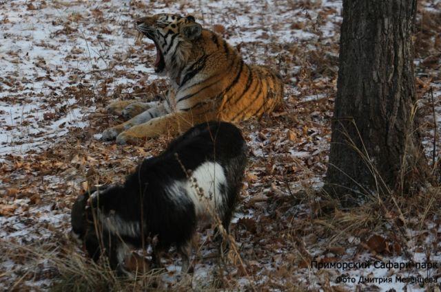 ВПриморском сафари-парке тигр Шерхан пошёл постопам Амура